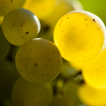 A bunch of Chardonnay grapes for Chablis