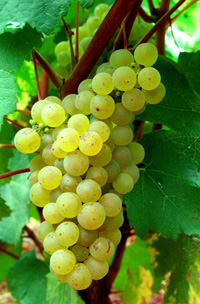A bunch of Chardonnay grapes for Chablis/Bourgogne/Burgundy/French wines/Chablis