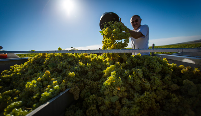 Manual harvests in Chablis - Bourgogne