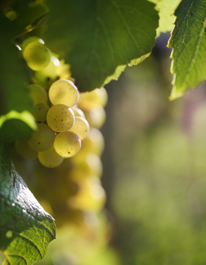 Chardonnay: a single varietal for Chablis wines