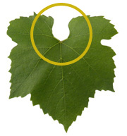 The tip of a Chardonnay vine leaf - Chablis