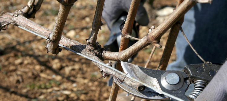 Pruning in the Chablis vineyards